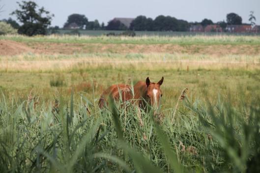 Norfolk horse
