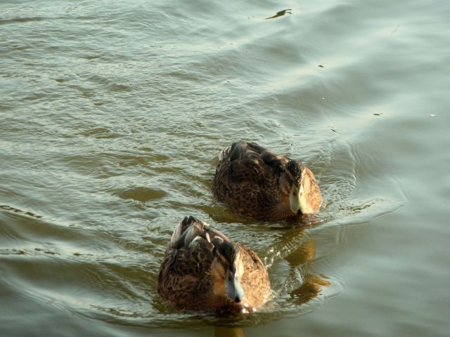 Peeps swimming