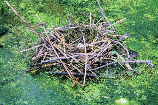 Great crested Grebe nest floating on the water.