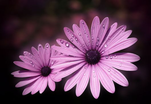 Dew drops on Daisies