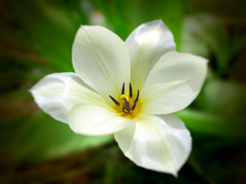 La Tulipa