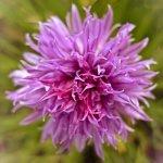 Sweet Allium