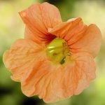Sweet Nasturtium